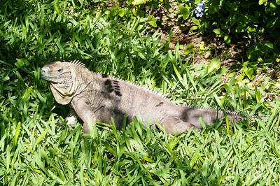 Photograph - Blue Iguana by Lars Lentz