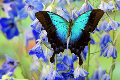 Blue Swallowtail Photograph - Blue Iridescence Swallowtail Butterfly by Darrell Gulin