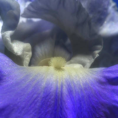 Photograph - Blue Iris 2 by Joann Vitali