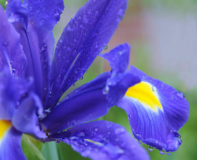 Art Print featuring the photograph Blue Iris by Haleh Mahbod
