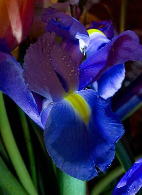 Blue Iris Print by Joann Vitali