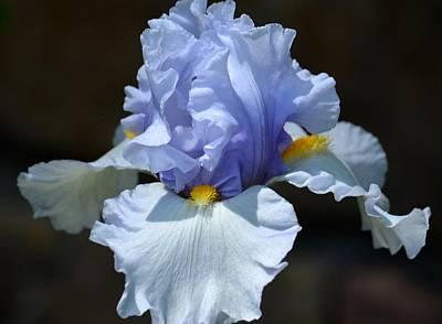 Photograph - Blue Iris by Maria Urso