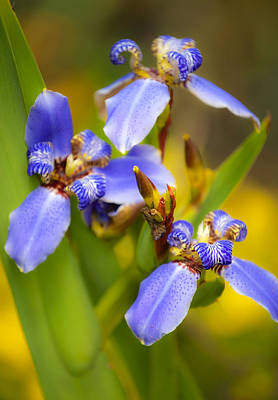 Photograph - Blue Iris No. 2 by Stephen Anderson