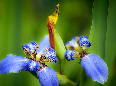 Photograph - Blue Iris No. 3 by Stephen Anderson