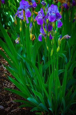 Photograph - Blue Iris  by Patricia Babbitt