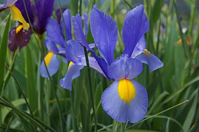 Yellow Bearded Iris Photograph - Blue Irises Flowers Garden Art Prints by Baslee Troutman