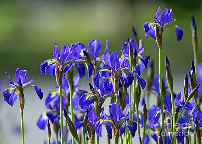 Photograph - Blue Irises by Sharon Talson