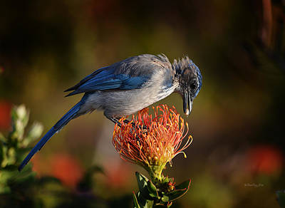Photograph - Blue Jay 1 by Xueling Zou