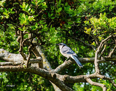Photograph - Blue Jay by Allen Sheffield