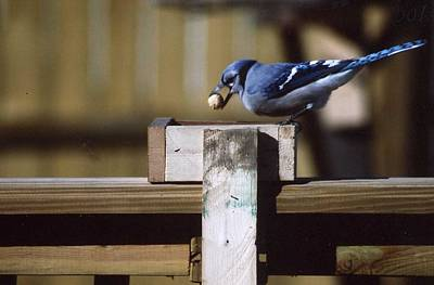 Photograph - Blue Jay And His Peanut by Kay Novy