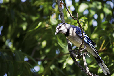 Photograph - Blue Jay And Pecan Tree by Jason Politte