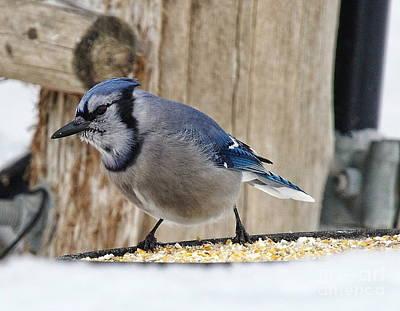 Photograph - Blue Jay At Feeder  by Andrea Kollo