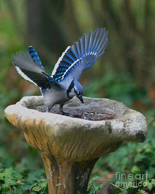 Photograph - Blue Jay Bath by Jane Axman