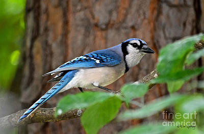 Photograph - Blue Jay Beauty by Eve Spring
