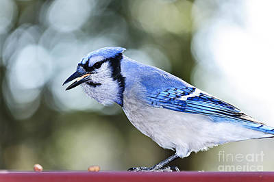 Bluejay Photograph - Blue Jay Bird by Elena Elisseeva
