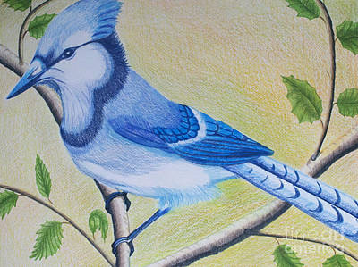 Drawing - Blue Jay by Cecilia Stevens