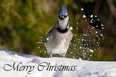 Photograph - Blue Jay Christmas Card 1 by Michael Cummings
