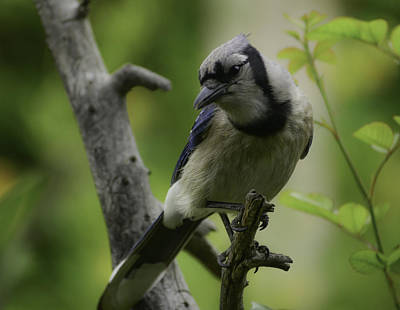 Photograph - Blue-jay Comes Softly by Rae Ann  M Garrett