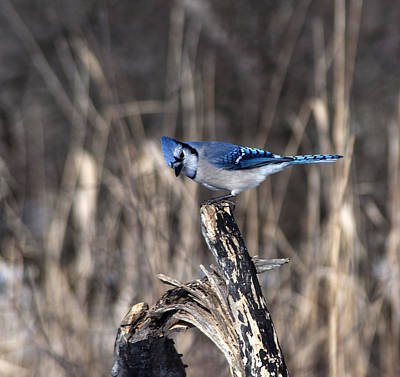 Winter Animals Rights Managed Images - Blue Jay Day Royalty-Free Image by Ginger Harris
