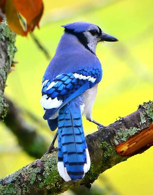 Art Print featuring the photograph Blue Jay by Deena Stoddard