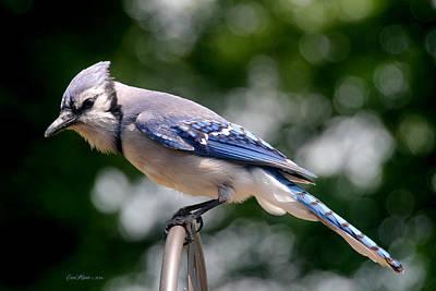 Manipulation Photograph - Blue Jay by EricaMaxine  Price