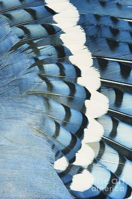 Photograph - Blue Jay Feathers by Tom Martin