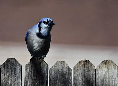 Photograph - Blue Jay Fence 1 by Rae Ann  M Garrett
