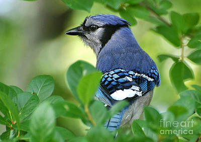 Photograph - Blue Jay Framed By Leaves by Kathy Baccari