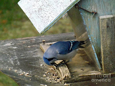 Photograph - Blue Jay Gone Woodpecker by Brenda Brown