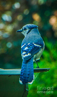 Photograph - Blue Jay by Grace Grogan