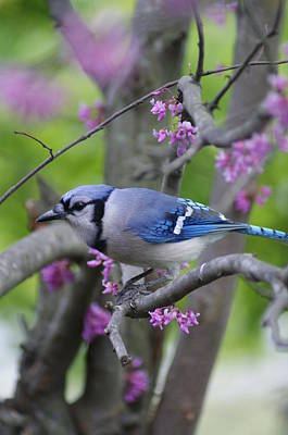 Photograph - Blue Jay  by Heidi Poulin