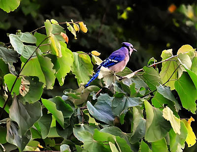 Cyanocitta Cristata Digital Art - Blue Jay In A Tree by Chris Flees