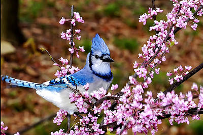 Blue Jay In The Pink Art Print by Randall Branham