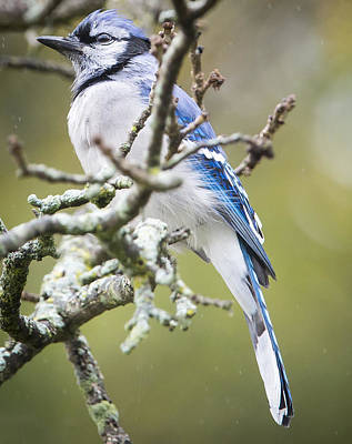 Photograph - Blue Jay In The Rain by Ricky L Jones