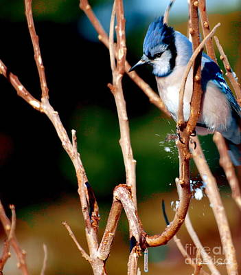 Photograph - Blue Jay In Tree by Christine S Zipps