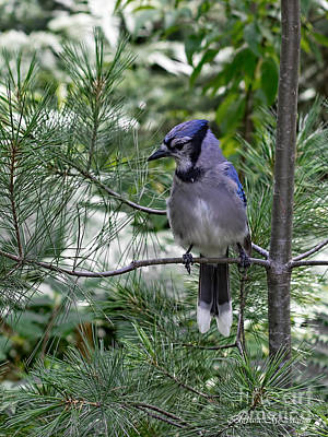 Photograph - Blue Jay In White Pine by Barbara McMahon