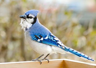 Corvidae Photograph - Blue Jay by Jim Hughes