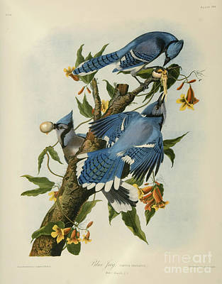 Tree Drawing - Blue Jay by Celestial Images