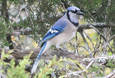 Kathleen Photograph - Blue Jay by Kathy Peltomaa Lewis