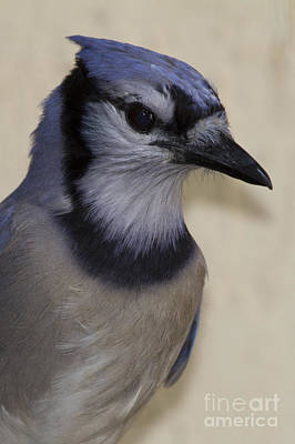 Photograph - Blue Jay by Meg Rousher