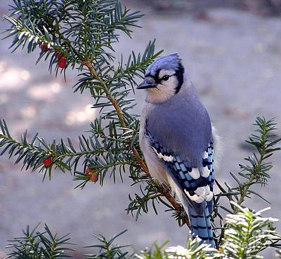 Art Print featuring the photograph Blue Jay - Morning Visitor  by Susan  Dimitrakopoulos