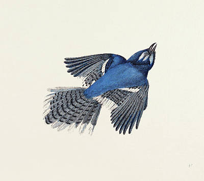 Blue Jay Drawing - Blue Jay Nineteenth Century Engraving by English School