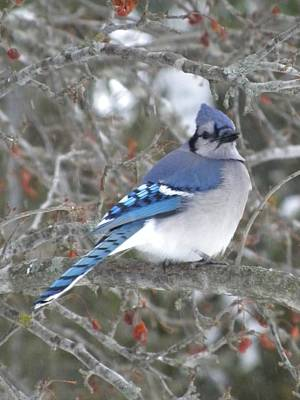 Photograph - Blue Jay by Peggy  McDonald