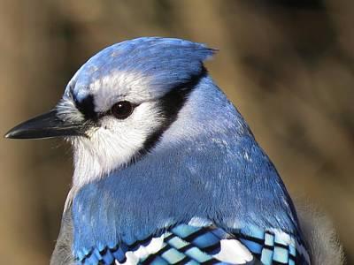 Blue Jay Profile Art Print