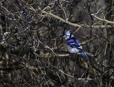 Photograph - Blue Jay by Richard Lee