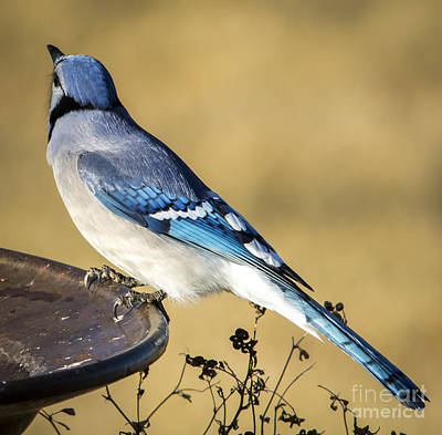 Photograph - Blue Jay by Ricky L Jones