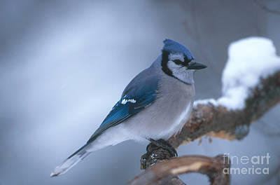 Photograph - Blue Jay by Rod Planck