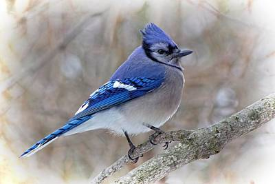 Photograph - Blue Jay by Ron Grafe