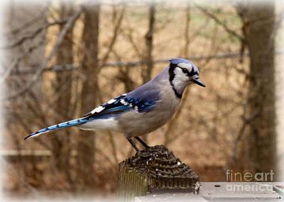 Photograph - Blue Jay  by Sandra Clark