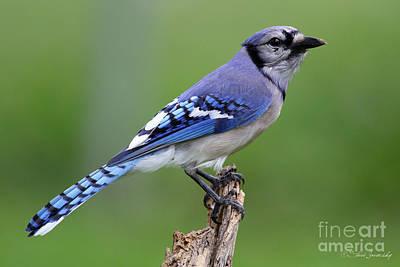 Photograph - Blue Jay by Steve Javorsky